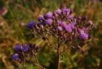 Vernonia karaguensis