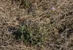 Vernonia kirkii