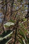 Vernonia myriantha