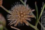 Vernonia poskeana subsp. poskeana