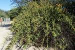 Distephanus divaricatus