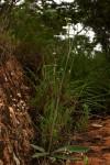 Elephantopus scaber subsp. plurisetus var. plurisetus