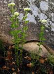 Stomatanthes africanus