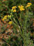 Nidorella resedifolia subsp. resedifolia