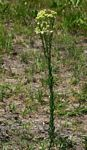 Eschenbachia stricta