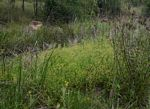 Nidorella ulmifolia