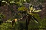 Tarchonanthus trilobus var. galpinii