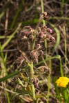 Blumea axillaris