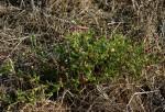 Sphaeranthus gazaensis