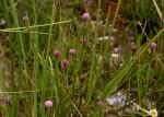 Sphaeranthus randii var. randii