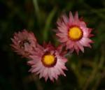 Helichrysum adenocarpum subsp. adenocarpum