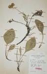 Helichrysum mechowianum var. ceres