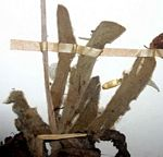 Helichrysum chasei