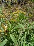 Helichrysum forskahlii
