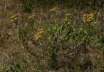 Helichrysum goetzeanum