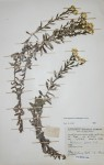 Helichrysum kilimanjari