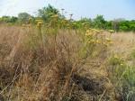 Helichrysum kraussii