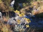 Helichrysum nitens subsp. nitens