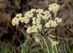 Helichrysum nudifolium var. nudifolium