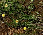Helichrysum sulfureofuscum