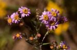 Athrixia rosmarinifolia var. foliosa