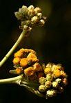 Inula glomerata