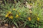 Geigeria filifolia