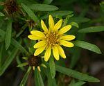 Geigeria burkei subsp. burkei var. zeyheri