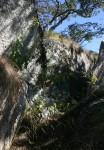 Anisopappus kirkii