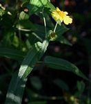 Lipotriche scandens subsp. madagascariensis