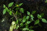 Spilanthes mauritiana
