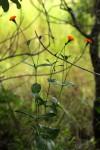 Hypericophyllum compositarum