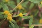 Flaveria trinervia