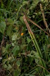 Crassocephalum uvens