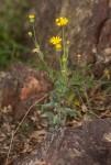 Emilia discifolia