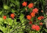 Kleinia fulgens