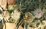 Centaurea praecox
