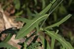 Launaea cornuta