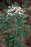 Vernonanthura polyanthes