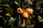 Crataegus pubescens