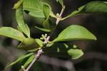 Tricalysia niamniamensis