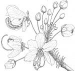 Cassia abbreviata