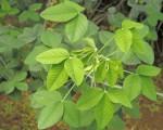 Crotalaria agatiflora subsp. imperialis
