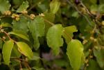 Ziziphus mucronata