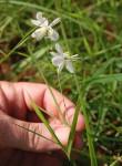 Chlorophytum galpinii