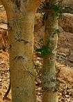 Ficus sycomorus subsp. gnaphalocarpa