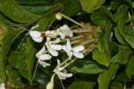 Clerodendrum buchneri