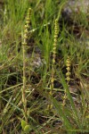Crassula capitella subsp. nodulosa
