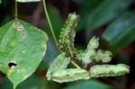 Psophocarpus scandens