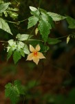 Momordica anigosantha